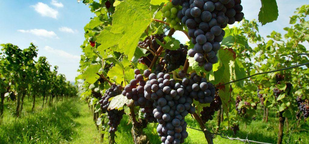 agricoltura viti