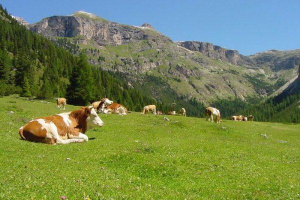 agricoltura vacche