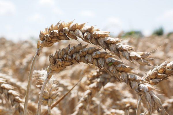 spiga grano